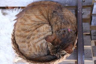 木製のテーブルの上で眠っている猫の写真・画像素材[2121547]