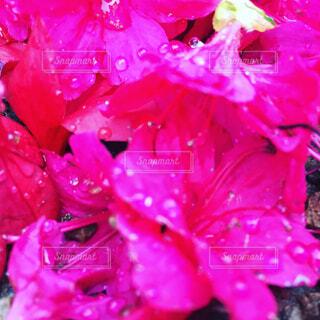 ツツジの花の写真・画像素材[1673765]
