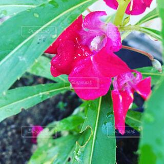 鳳仙花の写真・画像素材[1675258]