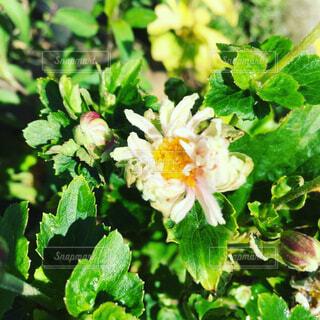 秋明菊の写真・画像素材[1675342]