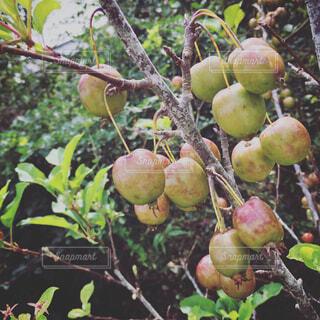姫林檎の写真・画像素材[1678116]