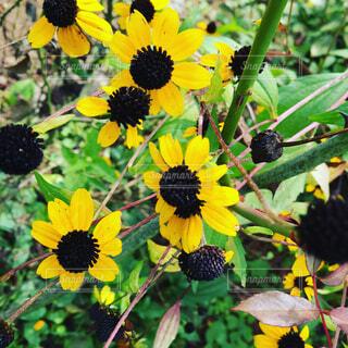 黄色の花の写真・画像素材[1678124]
