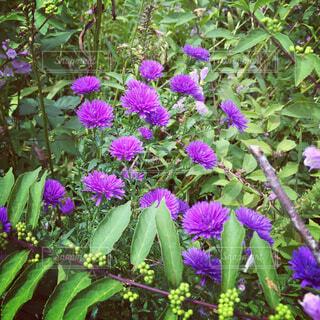 紫の花の写真・画像素材[1678130]