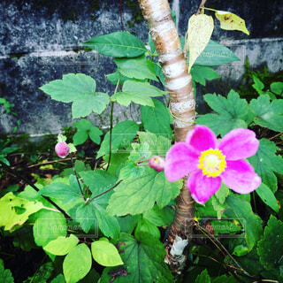 秋明菊の写真・画像素材[1678139]