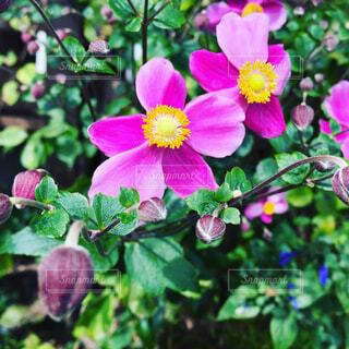 秋明菊の写真・画像素材[1678143]