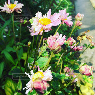 秋明菊の写真・画像素材[1678263]