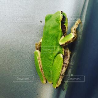 緑のカエルの写真・画像素材[1678323]