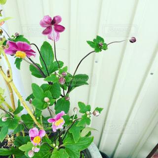 秋明菊の写真・画像素材[1678698]