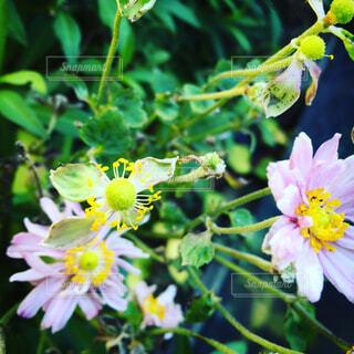秋明菊の写真・画像素材[1679470]