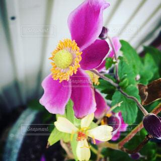 秋明菊の写真・画像素材[1679493]