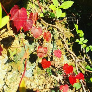 葉っぱの写真・画像素材[1679592]