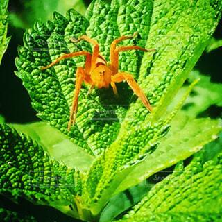 蜘蛛の写真・画像素材[1679594]