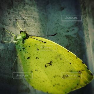 紋黄蝶の写真・画像素材[1679595]
