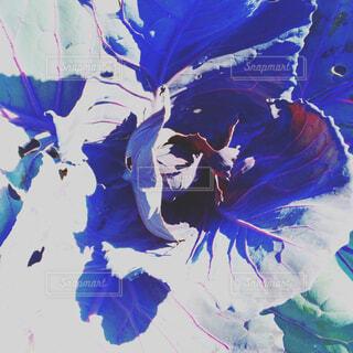 紫キャベツの写真・画像素材[1679903]