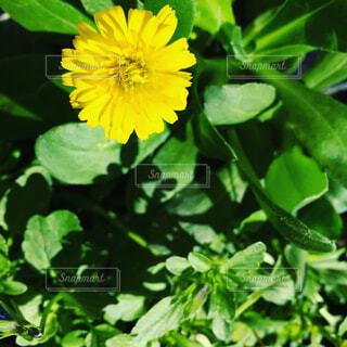 緑の葉と黄色の花の写真・画像素材[1679986]