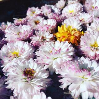 菊の写真・画像素材[1747484]