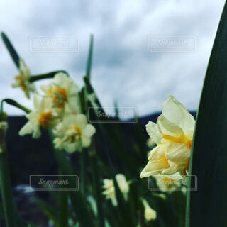 水仙の花💐の写真・画像素材[1769791]