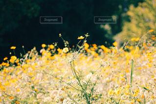 フィールド内の黄色の花の写真・画像素材[1676484]