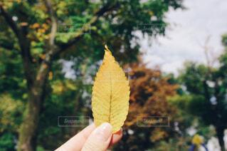落ち葉を持っている手の写真・画像素材[1676948]
