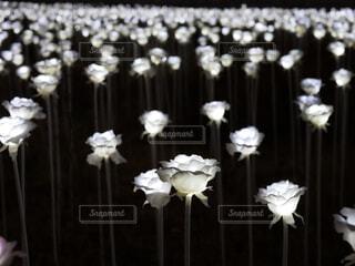 LEDのバラの写真・画像素材[1677934]
