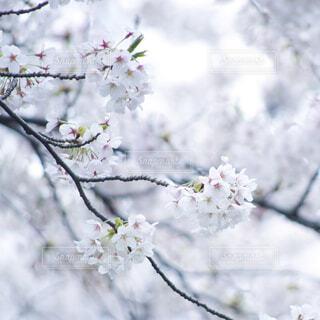 桜の写真・画像素材[1679229]
