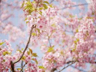 桜の写真・画像素材[1693225]