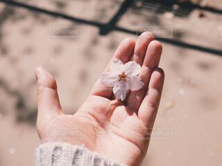 桜と手のアップの写真・画像素材[1694663]
