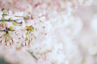 桜の写真・画像素材[1786850]