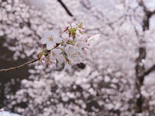桜の写真・画像素材[1813851]