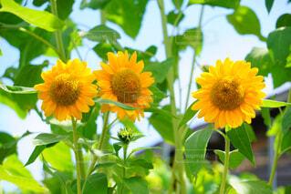 黄色の花の写真・画像素材[1674628]