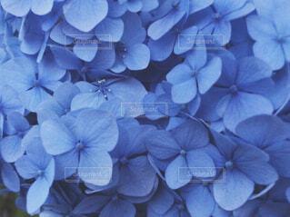 青い紫陽花の写真・画像素材[1675972]