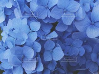 青い紫陽花の写真・画像素材[1675973]