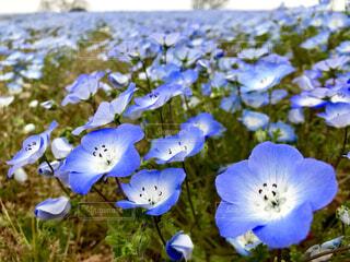 ネモフィラの花畑の写真・画像素材[2065407]