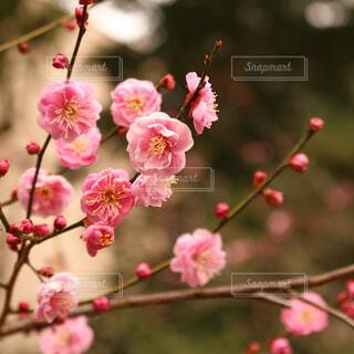 梅の写真・画像素材[1680109]