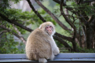 座っている猿の写真・画像素材[1747459]