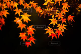 燃える紅葉の写真・画像素材[1682275]