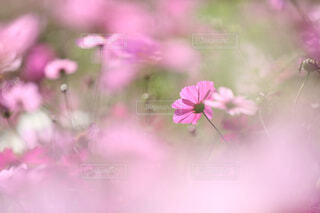 秋桜の写真・画像素材[1682318]