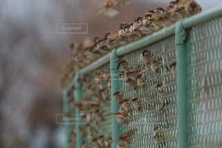 大量のスズメの写真・画像素材[1682326]