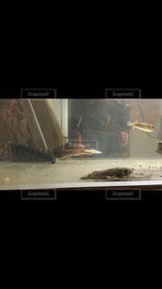 ウツボ捕食の写真・画像素材[1682236]