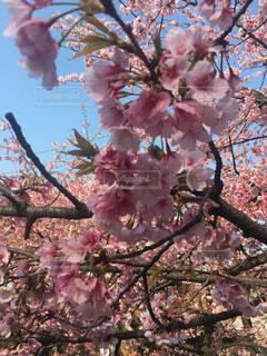 木の枝にピンク色の花のグループの写真・画像素材[1683559]