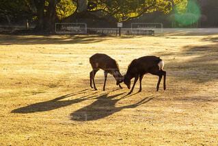 早朝の奈良公園の写真・画像素材[1856238]