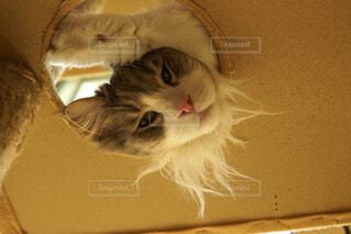 横たわって、カメラを見ている猫の写真・画像素材[2093104]