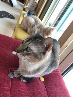 カメラを見ている猫の写真・画像素材[2093373]