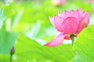ハスの花の写真・画像素材[2271134]
