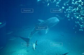 ジンベイザメの写真・画像素材[3982079]