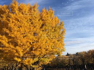 黄色に染まったイチョウ並木の写真・画像素材[1684091]