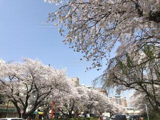 桜並木の写真・画像素材[1684640]