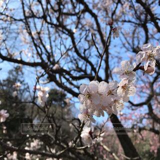 桜の木の枝の写真・画像素材[1684645]