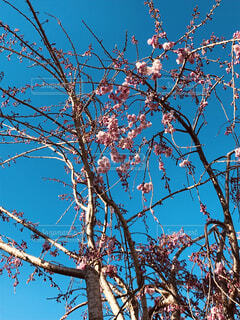 川越の桜の写真・画像素材[1933999]