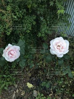 薄ピンクの薔薇2輪の写真・画像素材[2164546]